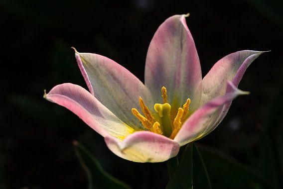 roze tulp met zwarte achtergrond en gele meeldraden