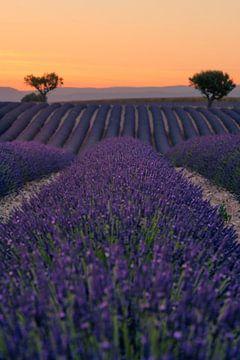 Rijen lavendel van Martijn Kort