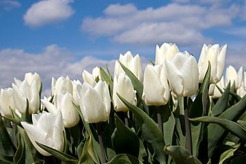 Witte tulpen tulp van W J Kok
