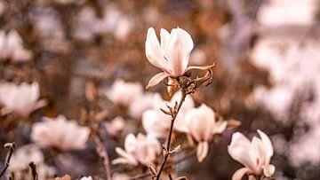 Magnolia van Fotoverliebt - Julia Schiffers