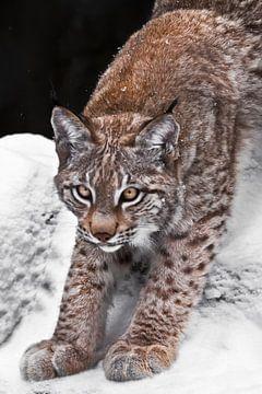 lynx félin s'étire gracieusement, se préparant à sauter, sur fond de neige sur Michael Semenov