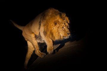 Löwe auf schwarzem Hintergrund. Schleichend den Hügel hinauf. Ein kräftiges Löwenmännchen mit einer  von Michael Semenov