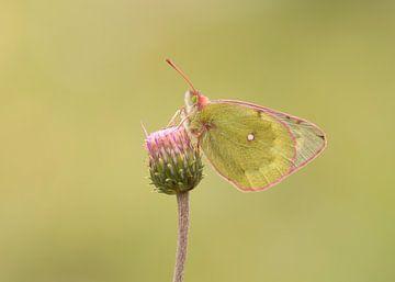 Luzerne Vlinder van Elles Rijsdijk