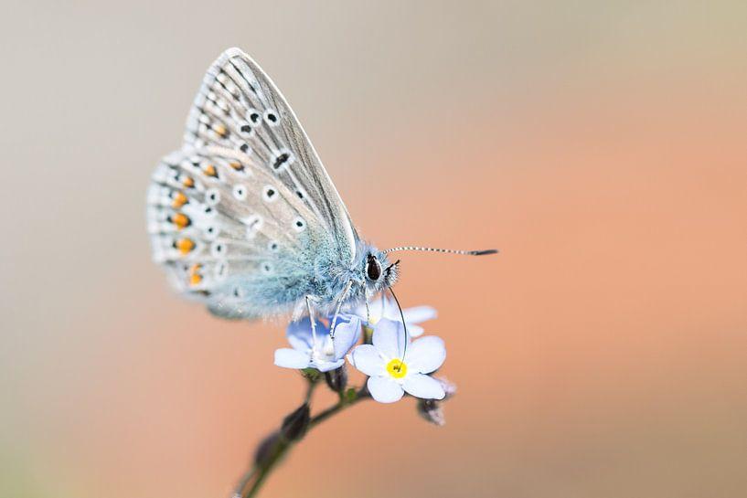 Icarusblauwtje vlinder op blauwe bloem van Mark Scheper