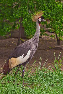 Wunderschöner afrikanischer Vogel - Kronenkranich auf grünem Gras von Michael Semenov