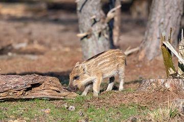 Junges Wildschwein von Merijn Loch