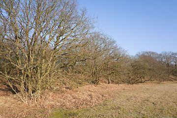 Houtwal met eikenbomen. von Martien van Gaalen