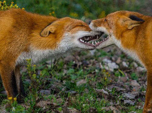 Vossen vechten om voedsel