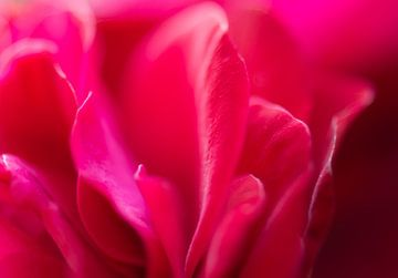 Rosenblätter von Tania Perneel