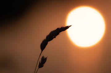 Maiskolben vor der Sonne von Tania Perneel
