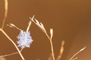 Sneeuwvlok zachtbruin van Dennis van de Water