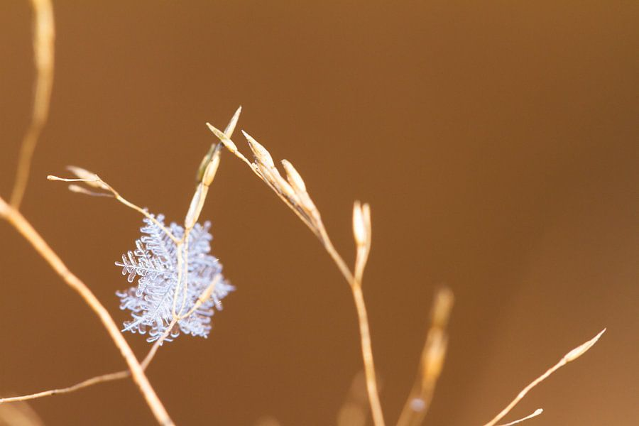 Sneeuwvlok zachtbruin