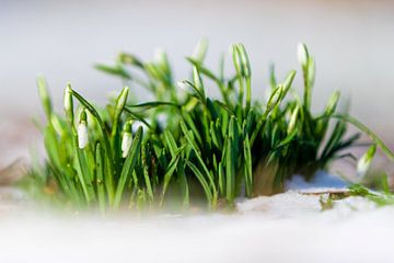 Schneeglöckchenblüten bringen den Vorfrühling von Kim Willems