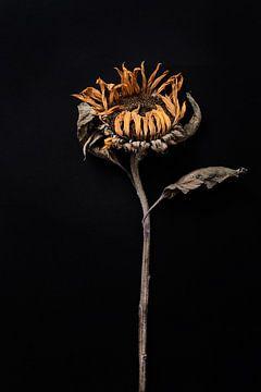 getrocknete Sonnenblume von Karel Ham