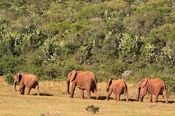 Gruppe afrikanischer Elefanten in freier Wildbahn von Bobsphotography
