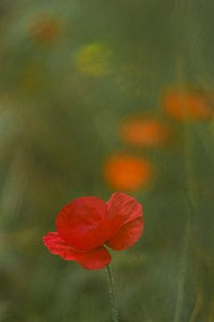 Klaprozenstroom. Bloemenveld op het, Terheijden, Noord Brabant, Holland, Nederland. Afbeelding van