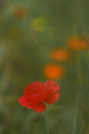 Klaprozenstroom. Bloemenveld op het, Terheijden, Noord Brabant, Holland, Nederland. Afbeelding