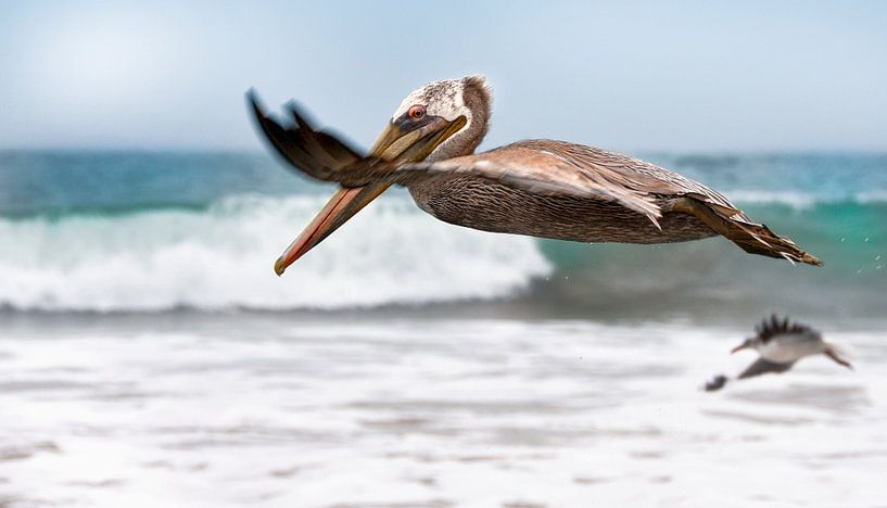 Vliegende pelikaan  van Anouschka Hendriks