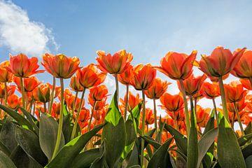 ein Gesicht mit schönen orange Tulpen von eric van der eijk