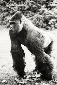 Dieser Gorilla erforscht gerade von Tamara Mollers Fotografie Mollers