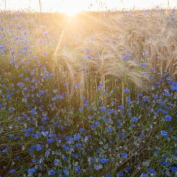 beautiful blue cornflowers in summer and wheat field in backlight of setting sun van anton havelaar