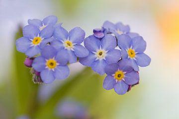 Blaue Vergissmeinnicht von Dagmar Hijmans