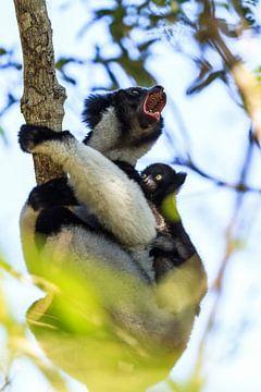 Schreeuwende Indri Indri met jong van Dennis van de Water