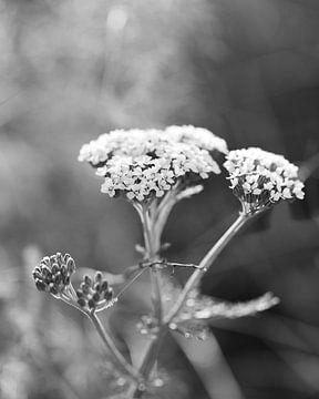 Duizendblad plant met witte bloemen