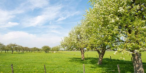 Appelbomen in het weiland