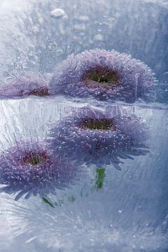 Gänseblümchen in Eis 1 von Marc Heiligenstein