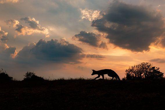 vos in het laatste licht van de dag