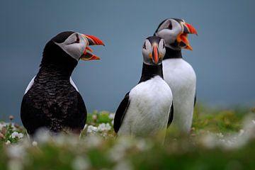 Papageientauchergruppe auf der Insel Skomer vor der Küste von Wales von gaps photography