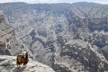 Ziege im Jabal Shams von Robert Styppa