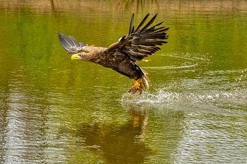 Europäischer Weißkopfseeadler schwebt über dem Wasser, um nach Beute zu greifen.  Gold, gelbe und gr von Gea Veenstra