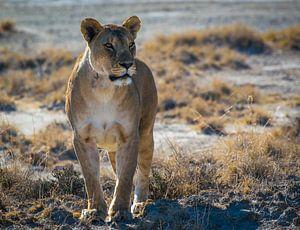 Leeuwin in de ochtendzon in Nationaal Park Etosha, Namibië