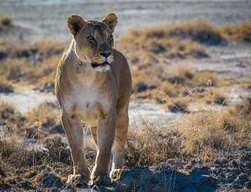Leeuwin in de ochtendzon in Nationaal Park Etosha, Namibië van