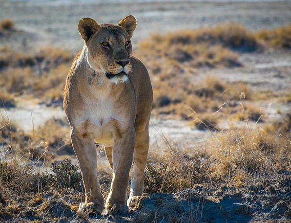 Leeuwin in de ochtendzon in Nationaal Park Etosha, Namibië van Rietje Bulthuis