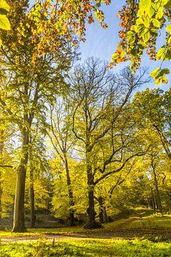 Volwassen beukenbomen in herfstkleuren in tegenlicht van Henk van den Brink