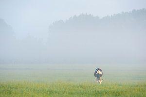 grazende koe in de wei