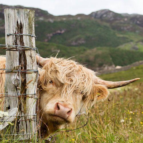 Schotse hooglander in Schotland zegt kiekeboe! van Karin de Jonge