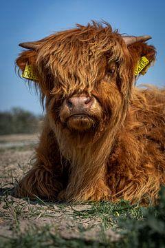 Portrait of a Scottish Highlander calf van 7.2 Photography