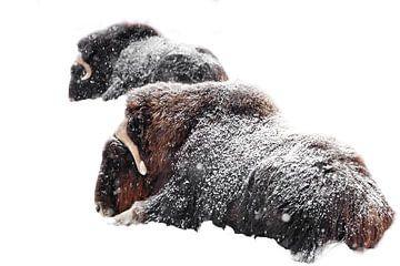Krachtige harige muskusossen onder zware sneeuwval op een achtergrond van witte sneeuw. Twee muskuso van Michael Semenov