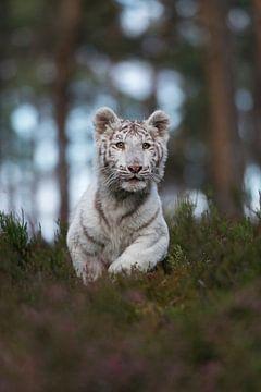 Royal Bengal Tiger *Panthera tigris * van wunderbare Erde