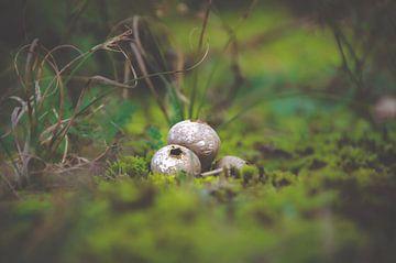 kleine Pilze von Claire Groeneveld