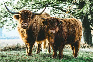 Schotse Hooglanders van Erwin Heuver