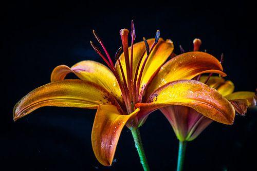 Lelie oranje-geel