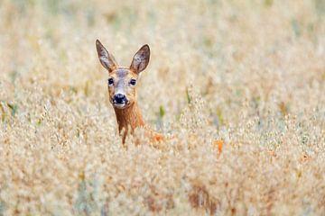 Des cerfs dans le champ d'avoine sur Daniela Beyer