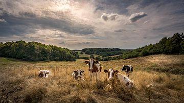 Koeien in de avondzon - Prachtige lucht! van piet douma