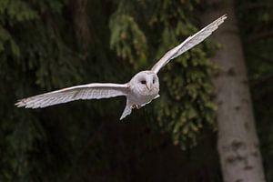 an owl in flight von claes touber