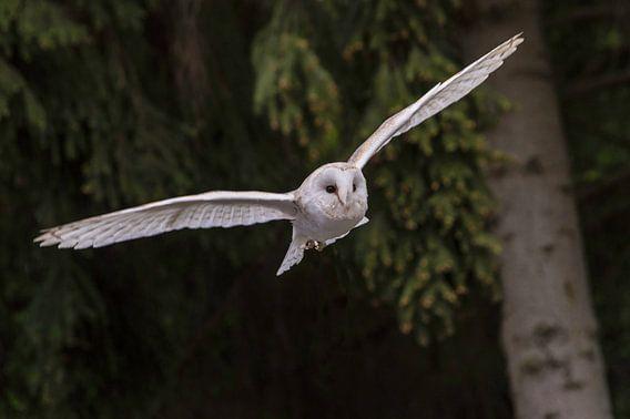 an owl in flight van claes touber